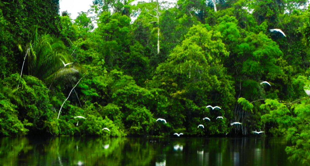 Lush green rain forest with several white birds flying away